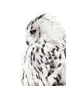 White and black isolated owl — Stock Photo