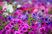 Multicolor petunia background — Stock Photo