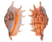 Two sides of orange shellfish — Stock Photo