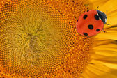 Yellow sunflower center with ladybird — Stock Photo