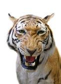 Wütend tiger isoliert auf weiss — Stockfoto