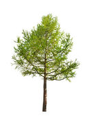 Green larch isolated on white — Stock Photo