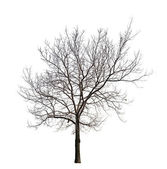 Tree without leaves isolated on white — Stock Photo