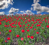 Red tulip field under sky with clouds — Stock Photo