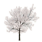 Isolated tree white blossom — Stock Photo