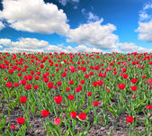 Red tulip field under clouds — Stock Photo