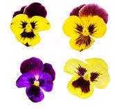 Coleção de quatro flores de amor-perfeito — Fotografia Stock