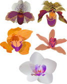 Five isolated on white color orchids — Stock Vector