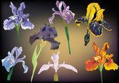 Seven irisis on dark background — Stock Vector
