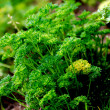 Parsley — Stock Photo #11077964