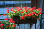 Geraniums — Stock Photo