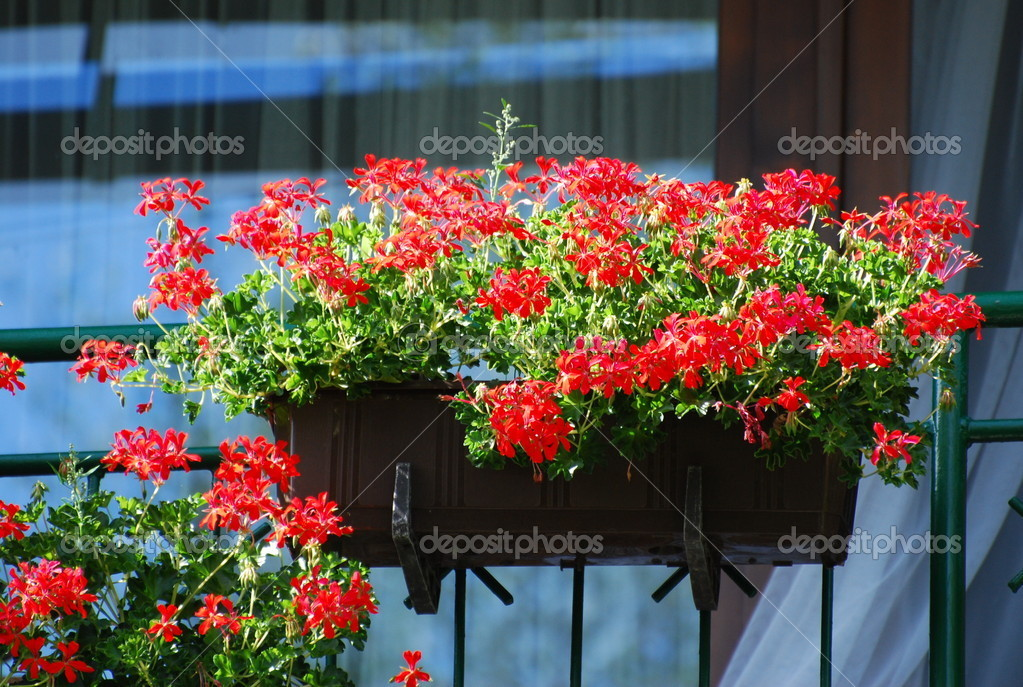 Geraniums  Stock Photo #11639117
