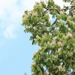 Blooming Horse Chestnut tree — Stock Photo #11834900