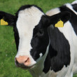 Portrait of a cow — Stock Photo #11678866