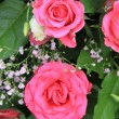Shocking pink roses — Stock Photo