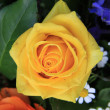 Yellow rose close up — Stock Photo