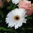 Stock Photo: Wet white gerbera