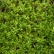 Green little plants bush background - Stock Photo