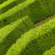 Geometric pattern of green hedge flowerbed — Stock Photo #12065311