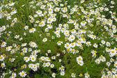 German chamomile — Stock Photo