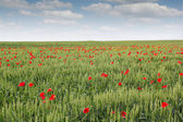 Field with green wheat and poppy flower — Stock Photo