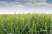 Grön vete fält — Stockfoto