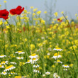 Stock Photo: Chamomile and poppy flowers