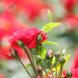 Garden with red roses spring scene — Stock Photo #10882388