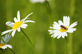Bee on white flower — Stock Photo