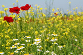 Chamomile and poppy flowers — Stock Photo