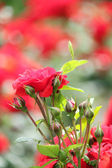 Garden with red roses spring scene — Stockfoto