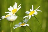 Bílé květy na jaře scéna — Stock fotografie