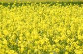 Prado con verano flores amarillas — Foto de Stock