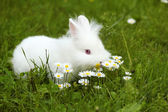White dwarf bunny standing in grass — Foto de Stock