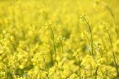 Yellow flowers summer nature background — Stock Photo