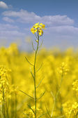 Yellow flowers and blue sky summer scene — Stock Photo