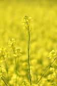 Field with yellow flowers summer background — Stock Photo