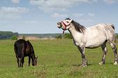 White horse neigh — Stock Photo