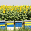 Bee hive and sunflowers field — Stock Photo #11479929