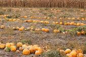 Pumpkins field autumn scene — Stock Photo