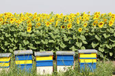 Bee hive and sunflowers field — Stock Photo