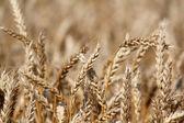 Golden wheat close up summer scene — Stock Photo