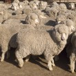Stock Photo: Merino Sheep