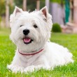 Westie on the green grass — Stock Photo #11825844