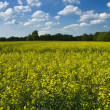 Stock Photo: Blooming canolfield