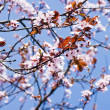 Pink cherry blossoms blooming in the spring - Stock Photo