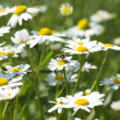 Spring in the group of camomile — Stock Photo