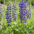 Stock Photo: Lupin flowers (genus Lupinus)
