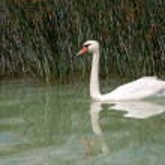 Swan at Lake Balaton,Hungary — Stock Photo