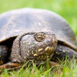 Stock Photo: Europepond turtle (Emys orbicularis)